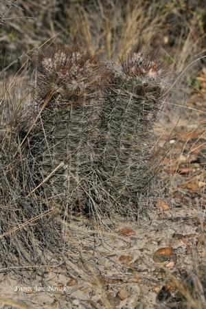 Austrocactus bertinii JN 923 (Gaiman to Estancia YPF, Chubut, Argentina)
