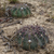 Echinopsis rojasii MN 0426 (11km W of Mairana, Florida, Santa Cruz, 1912, Santa Cruz, Bolivia)