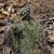 Echinopsis bridgesii ssp. vallegrandensis MN 0442 (10km n Saipina, 1510, Cochabamba, Bolivia)