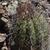 Parodia columnaris MN 0443 (15km W Pulquina, 1444, Cochabamba, Bolivia)