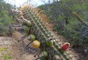 Cleistocactus micropetalus MN 0447 (Candelillar, N Pasorapa, 2053, Cochabamba, Bolivia)