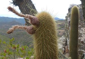 Cleistocactus spec. MN 0449 (E. Pasorapa, 2446, Cochabamba, Bolivia)