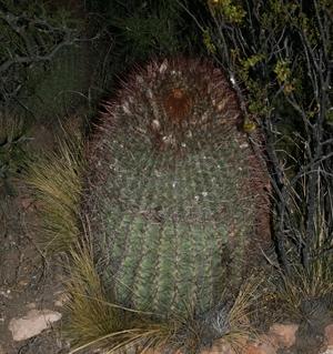 Denmoza rhodacantha JN 1097 (Rio Malargue, Mendoza, Arg)