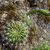 Echinopsis mamillosa MN 0490 (1 km E of Santa Elena, 2239, Chuquisaca, Bolivia)