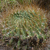 Lobivia chrysochete 'chunchullensis' MN 0495 (8 km S of San Marcelo, 3330, Chuquisaca, Bolivia)
