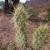 Opuntia sulphurea MN 0504 (4 km N Villa Abecia, 2312, Chuquisaca, Bolivia)