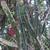 Hylocereus setaceus MN 539 (Loma de Reinas, Santa Cruz, Bolivia)