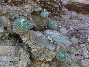 Parodia formosa 'cardenasii' MN 533 (E. Palos Blancos, 909m, Tarija, Bolivia)