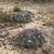 Echinopsis rojasii MN 426 (11km W of Mairana, Santa Cruz, Bolivia)