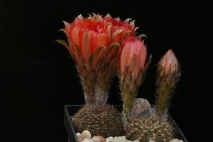 Lobivia haematantha v. rebutioides WR 816 (Tumbaya, Arg)