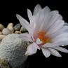 Mammillaria herrerae v. albiflora