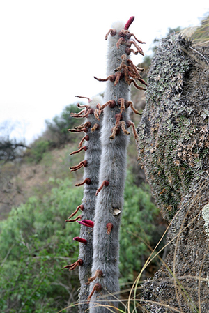 Cleistocactus straussii  MN 346 (W Padcaya, 2100m, Bol)