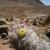 Oreocereus trollii  MN 373 (E Pujzara, 3800m, Bol)