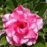 Adenium obesum cv. Triple Flower