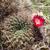Sulcorebutia purpurea 'gigantea' MN 612 (N San Pedro de Buena Vista, 3539m, Bol)