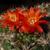 Weingartia coloradensis HJ 1145 (Cerro Colorado, Bol)