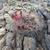 Weingartia trollii MN 616 (SE Torotoro, 3166m, Bol)