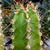 Neoraimondia gigantea