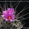 Thelocactus rinconensis v. freudenbergerii (Grutas Garcia, NL, Mex)