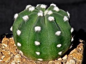 Echinopsis subdenudata 'Fuzzy Naval'