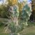 [PLANT/PFLANZE] Opuntia fragilis 'Bob Johnson'