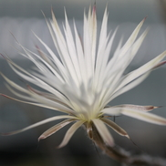 Seti-echinopsis mirabilis WR 869 (Baldecitos, Arg)
