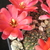 [PLANT/PFLANZE] Rebutia atrovirens v. yuncharasensis RH 584