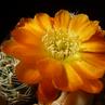 Sulcorebutia tarabucoensis v. aureiflora VZ 41 (Yamparez-Tarabuco, Bol)