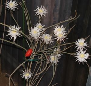 Peniocereus diguetii SB 1693 (Isla Magdalena, South Baja California, Mexico)