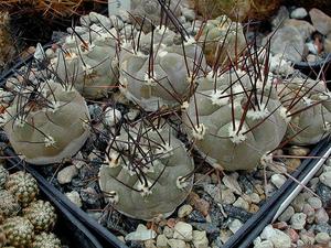 Weingartia neumanniana  MN  57 (Humahuaca, Arg)