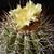 Copiapoa grandiflora RMF 158 (Esmeralda, Chile)