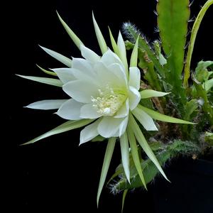Epiphyllum crenatum v. kimnachii