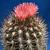 Eriosyce crispa ssp. totoralensis RMF 292 (Totoral)