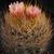 Eriosyce kunzei 'eriosyzoides' RMF 958