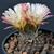 Eriosyce napina ssp. llanensis JA 541 (Llanos de Challe)