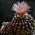 Eriosyce odieri ssp. glabrescens RMF 294 (S Totoral, Chile)