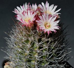 Eriosyce taltalensis ssp. paucicostata 'glaucescens' RMF 317 (El Cobre, 317m, Chile)