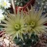 Escobaria missouriensis JRT 1121 (Baca Co, CO)