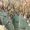 Opuntia azurea v. diplopurpureus (Brewster Co, TX)