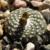 Blossfeldia liliputana 'fechseri' P 244  (Sierra Ambato, 1200m, Argentina)