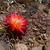 Sulcorebutia verticillacantha v. cuprea MN 614