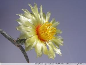 Astrophytum caput-medusae PP 1569 (El Herrero, Tamaulipas, Mexico)