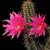 Echinocereus scheeri (Estacion Divisadero, Chih, Mex)