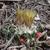 [PLANT/PFLANZE] Escobaria missouriensis MN 573 (N Canon City, Pueblo Co, CO)