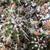 [PLANT/PFLANZE] Echinocereus viridiflorus JRT 139
