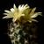 Turbinicarpus schmiedickianus v. minimus TCG 9101