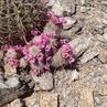 Mammillaria grahamii (South Mountain, Phoenix, AZ)