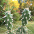 [PLANT/PFLANZE] Opuntia columbiana (Yakima River, WA, USA)