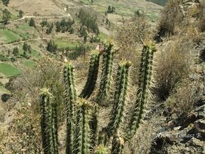Corryocactus  melanotrichus TB 467.4 (Palca, 3737m, La Paz, Bolivia)