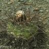 Gymnocalycium armatum TB 189.1 (Huerta, N of Iscayachi, 2686m, Tarija, Bolivia)
